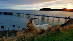 A goat standing on the Great Orme in front of Llandudno Pier