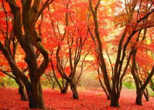 Árboles rojo brillante en un bosque en Sussex