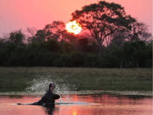 A hippo at a watering hole at sunset