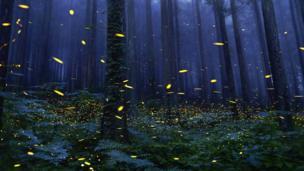 日本萤火虫