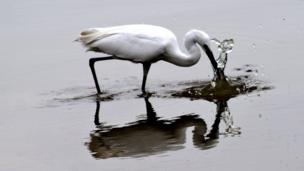 An egret catching fish
