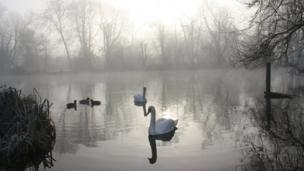 Swans in the mist at the end of Ferry Lane in Cholsey