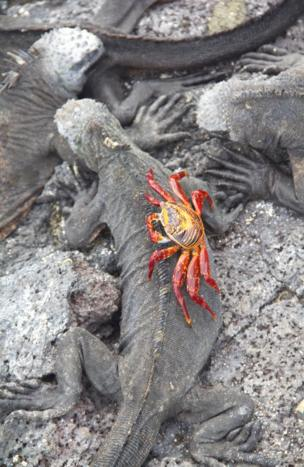 A crab catches a rid on an iguana