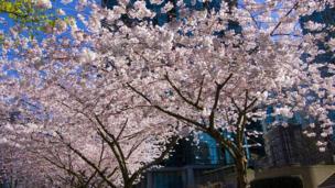 """Алексей Куницкий, Калгари, Канада: """"Каждую весну облака цветущей сакуры укрывают бело-розовыми одеялами тихоокеанский красавец Ванкувер""""."""