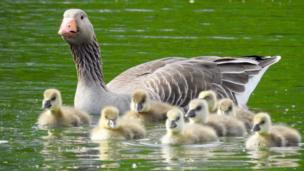 Greylag goslings looking fluffed up and almost blow-dried by the breeze on the Thames at Appleton