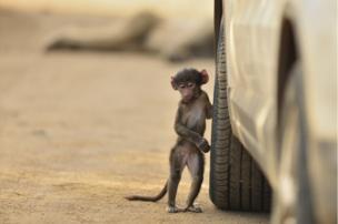 A juvenile baboon