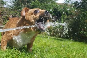 Perra tomando agua