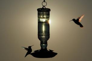 in_pictures Hummingbirds