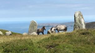 A Carneddau pony and foal at the Druids Circle above Penmaenmawr, Llandudno