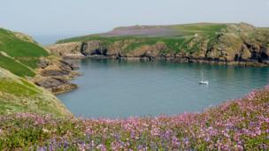 Fields of wildflowers on Skomer Island