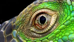 ดวงตาสุกสว่างของอิกัวน่า นายรูมบอกว่า คนทั่วไปมักไม่ตั้งใจมองอวัยวะเฉพาะส่วนของสัตว์ แต่ ตัวเขาตั้งใจถ่ายทอดภาพเฉพาะส่วน เช่น ถ้าคุณจ้องไปที่ดวงตาของพวกเขา มันช่างงดงามยิ่ง