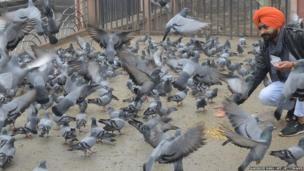 Amritsar pigeons