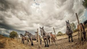 A row of horses under a stormy sky.