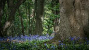 Bluebells at Shotover Country Park