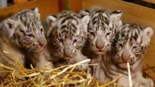 4胞胎孟加拉小白虎