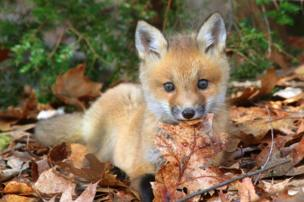 A fox holds a leaf in its mouth.