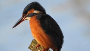 A female kingfisher
