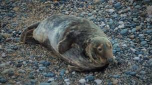 Seal at Angel Bay in Conwy county