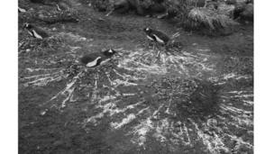 घोसले में बैठी पेंगुइन