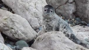A baby seal at Angel Bay, Little Orme