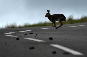 A hare jumps on the road