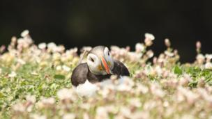 A puffin bathed in sunshine on Skomer Island, taken by Andy Johnston.