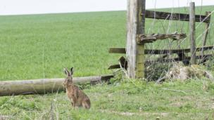 Hare, at West Ilsley