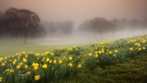 Daffodils in the mist at Ravenhill Park, Swansea, by Leighton Collins