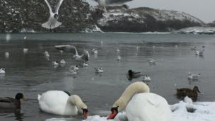 Snow and swans at Rhoose Point Lagoon, Vale of Glamorgan