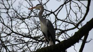 Stephen Smith took this picture of a heron at Darran park Rhondda.