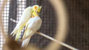 طيور في قفص
