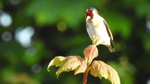 Goldfinch on a sycamore