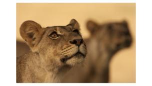 singa di afrika selatan
