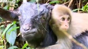 BBC, monyet, kambing