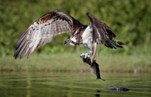 Fotografer Jane Barlow disuguhi pemandangan spektakuler elang tiram menangkap ikan trout di Cairngorms di Dataran Tinggi Skotlandia.