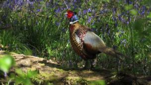 Pheasant at Harcourt Arboretum