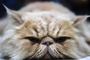 ایرانی بلی