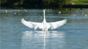 Swan on loch