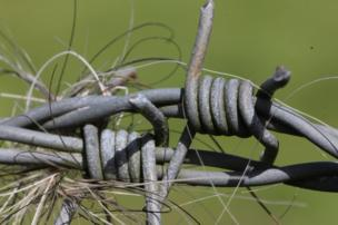 Animal hair tangled in barbed wire.