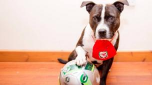 Bruce the rescue dog with a Wales bib and a football
