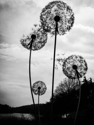 A black and white image of dandelions