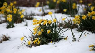 Snow-covered daffodils after snowfall in Scotland.