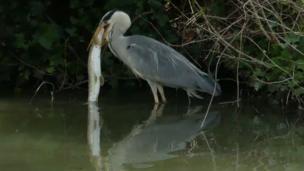 Heron versus pike near Abingdon