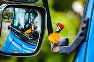 A woodpecker is perched on the wing mirror of a truck.