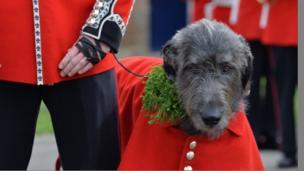 Irish wolfhound, Domhnall, the mascot of the Irish Guards, wore his coat and shamrock during the visit of the Duke and Duchess of Cambridge