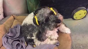ترتدي الكلبة إيلي سماعة لحماية الأذن من الضوضاء