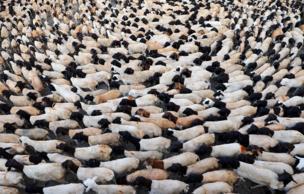 ईद का त्यौहार बकरों की बलि देकर मनाया जाता है.