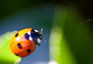 A ladybird seen close up