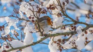Robin in Dare Valley Country Park