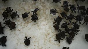 เต่าที่ได้รับการปล่อยเป็นลูกเต่ากระและลูกเต่าตนุที่ศูนย์เพาะเลี้ยงไว้